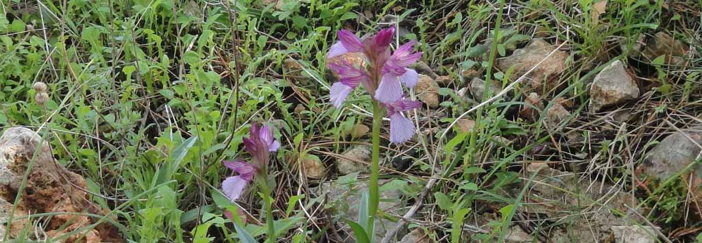 orchide1