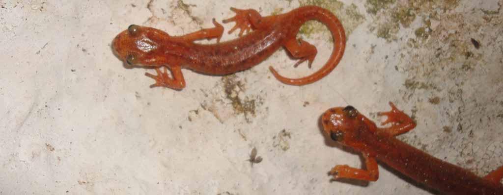 red salamander 1